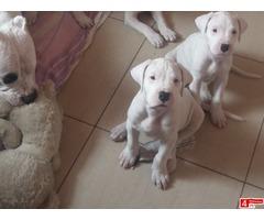 Szczenieta Dog Argentyński Dogo Argentino