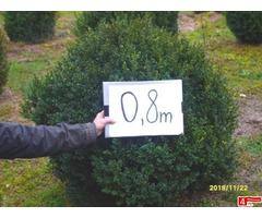 Sprzedam bukszpan strzyżony o średnicy 0,8 - 1 m