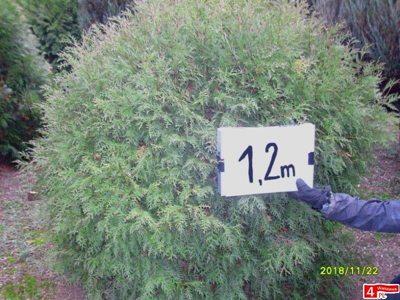 tuja (Thuja) kulista 'Woodwardii' o śr. 1,2 m (wykopywane z gruntu)
