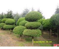 Sprzedam cyprysik groszkowy 'Aurea' PA (duże rośliny wykopywane z gruntu)