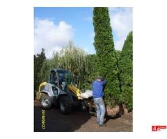 tuja (Thuja) 'Smaragd' wys. 4 - 5 m (wykopywane z gruntu)